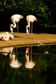 Free Phoenicopterus Roseus Royalty Free Stock Photo - 54371095