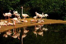 Free Phoenicopterus Roseus Stock Images - 54371264