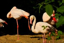 Free Phoenicopterus Roseus Stock Photos - 54371543