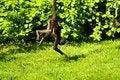 Free Geoffroy S Spider Monkey Stock Photography - 54383052