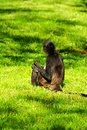 Free Geoffroy S Spider Monkey Royalty Free Stock Images - 54383279