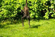 Free Geoffroy S Spider Monkey Stock Image - 54382951
