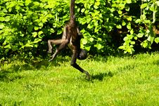 Free Geoffroy S Spider Monkey Stock Photography - 54383052