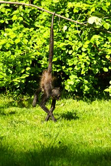 Free Geoffroy S Spider Monkey Stock Photography - 54383152