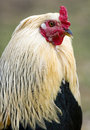 Free Portrait Of A Rooster Royalty Free Stock Photo - 5442735