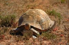 Free Leopard Tortoise Royalty Free Stock Photo - 5440225