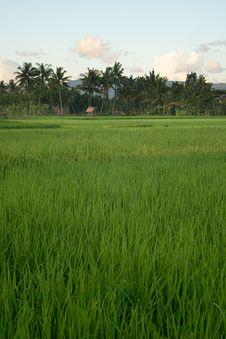 Free Rice Field Stock Photo - 5440370