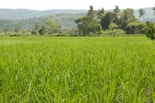 Free Rice Field Stock Image - 5440411