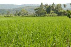 Free Rice Field Stock Image - 5440411