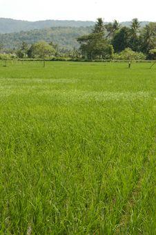 Free Windy Rice Field Stock Photo - 5440420