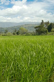 Free Green Rice Field Royalty Free Stock Photography - 5440427