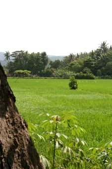 Free The Rice Field Royalty Free Stock Photo - 5440445
