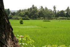 Free Rice Field Stock Image - 5440451