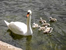 Mother And Baby Swans Royalty Free Stock Image