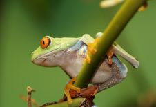 Free Red Eyed Tree Frog Stock Images - 5440654