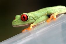 Free Red Eyed Tree Frog Royalty Free Stock Photos - 5440718