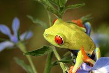 Free Red Eyed Tree Frog Stock Image - 5440741