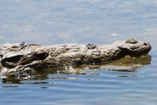 Free The Hiding Crocodile Royalty Free Stock Photo - 5440745
