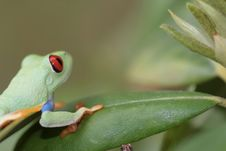 Free Red Eyed Tree Frog Royalty Free Stock Image - 5440746
