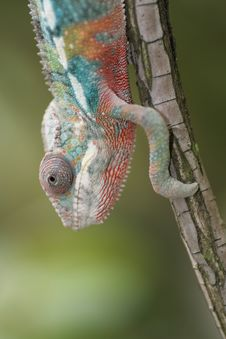 Free Chameleon Royalty Free Stock Photos - 5440808
