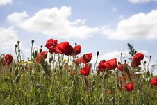 Free Red Poppies Stock Images - 5441234