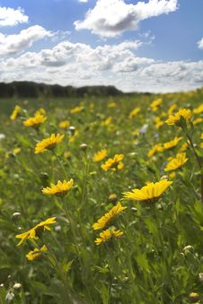 Free Corn Marigold Meadow Stock Photo - 5441240
