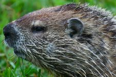 Free Woodchuck Stock Images - 5441334