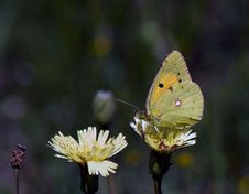 Free Butterfly - Clouded Sulphur Royalty Free Stock Photos - 5441458