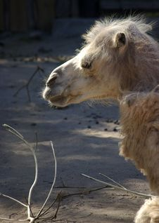 Free Portrait Of Bactrian Camel Royalty Free Stock Photo - 5444085