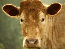 Free Cow Stock Photo - 5444100