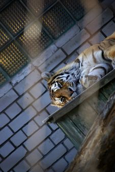 Free Lonely Amur Tiger Royalty Free Stock Photography - 5444387