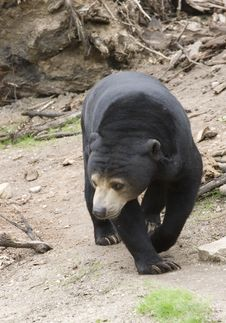 Free Sumatran Sun Bear Royalty Free Stock Photography - 5445437