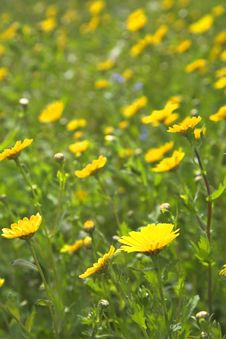 Free Corn Marigold Meadow Stock Images - 5445464