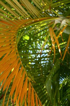 Free Palm Leaves Royalty Free Stock Image - 5445546
