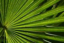 Free Palm Fan Royalty Free Stock Photo - 5445565