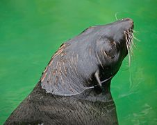 Free Fur Seal 2 Royalty Free Stock Image - 5446696