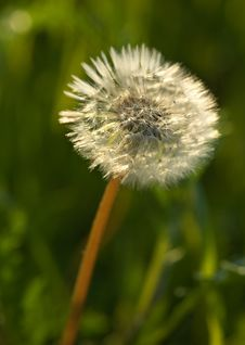 Dandelion In A Grass Stock Images