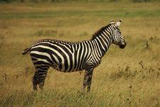 Free Single Zebra Royalty Free Stock Images - 5447109