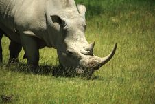 Free Rhino Covered In Flies Stock Photos - 5447293