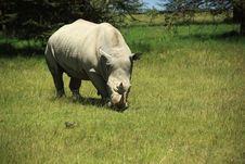 Free Rhino Eating Grass Stock Image - 5447461