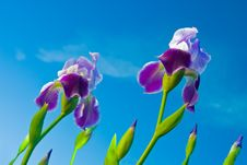 Free Iris On A Background Of The Sky Stock Images - 5448474