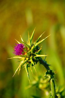 Thistle Royalty Free Stock Photo