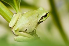 Free Tree Frog Royalty Free Stock Images - 5448619