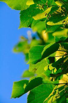 Lime Tree Stock Image