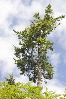 Free Pine Tree On Cloudy Blue Sky Royalty Free Stock Photos - 5449088