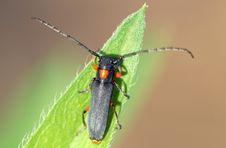 Free Cerambycidae Royalty Free Stock Images - 5449279