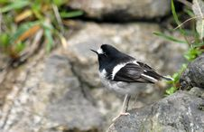 Free Bird (Little Forktail) Stock Images - 5449814