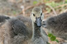Free Canadian Goose Stock Photos - 5449953