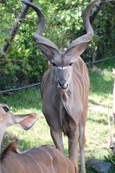Free Kudu Close Up Royalty Free Stock Image - 5449976