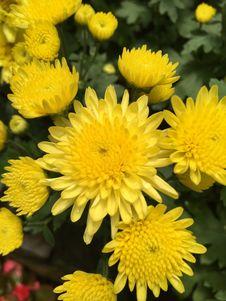 Free Yellow Flowers Royalty Free Stock Photo - 54426195